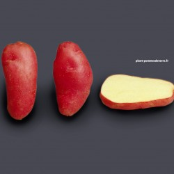 Achat plant pomme de terre Roseval