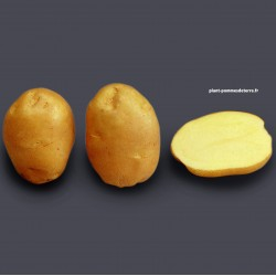 Achat plant pomme de terre Ostara