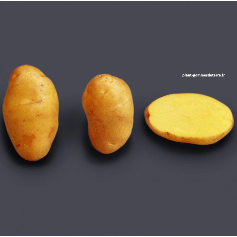 Achat plant pomme de terre Nicola