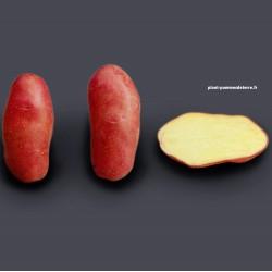 Achat plant pomme de terre Chérie