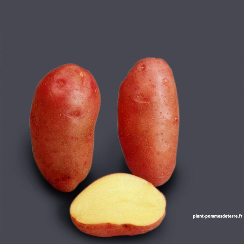 Achat plant pomme de terre Rosabelle BIO