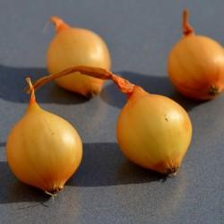 Achat plant oignon Stuttgarter