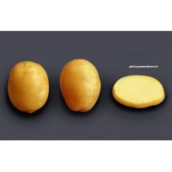 Achat plant pomme de terre Agata