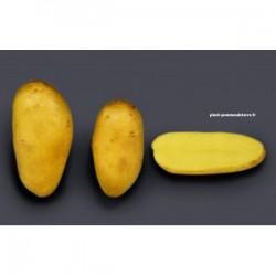 Achat plant pomme de terre Allians Bio