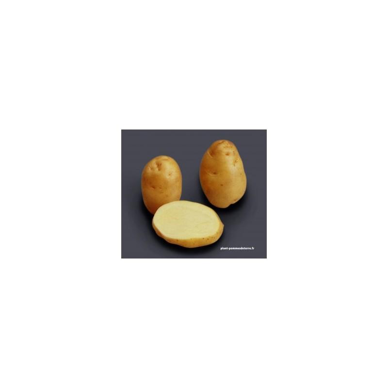 achat semence pomme de terre bintje sur plant pommes de terre. Black Bedroom Furniture Sets. Home Design Ideas