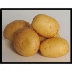 Achat plant pomme de terre Federica