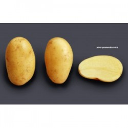 Achat plant pomme de terre O'sirene