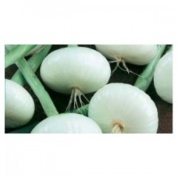 Achat plant oignon Snowball
