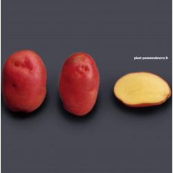 Achat plant pomme de terre Désirée Bio